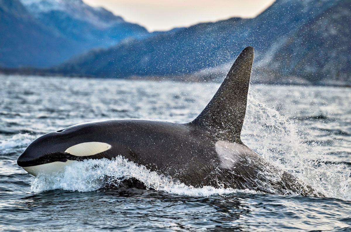 Tauchen mit Orcas in Norwegen